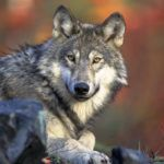 Ostrzeżenie – wilki atakują na pomorzu zachodnim
