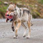 Wiki zaczynają atakować ludzi – czas na odstrzał tych zwierząt!