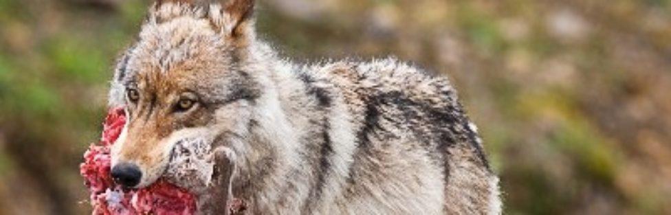 Wilki zaatakowały gospodarstwo agroturystyczne – te drapieżniki trzeba zacząć odstrzeliwać, natychmiast!