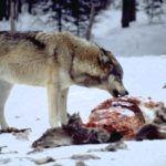 Ile jest faktycznie wilków w Polsce i czy stanowią zagrożenie?
