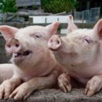 Moim zdaniem prezes PiS proponuje Polakom wolność właściwą dla świń, stojących przy pełnym korycie