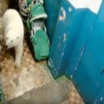 Białe niedźwiedzie na Nowej Ziemi (Rosja) terroryzują mieszkańców