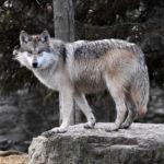 """Narodowe Stowarzyszenie Strzeleckie Ameryki wspiera organizację """"Powstrzymać wilki"""" w Colorado"""