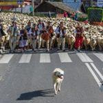 Rozpoczął się redyk owiec