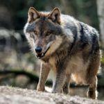 Prokuratura wszczęła śledztwo ws. zastrzelonego wilka – a ja uparcie mówię: znieście gatunkową ochronę wilków!