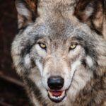 UWAGA – wilki atakują ludzi! (atak watahy wilków na pilarzy w lesie)