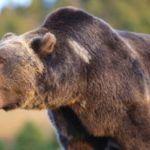 Z cyklu broń ratuje życie: mężczyzna strzela do szarżującego niedźwiedzia Grizzly – ratuje siebie i syna